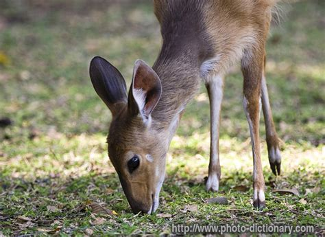 young antelope - photo/picture definition at Photo