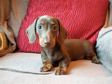 miniature dachshund smooth coated puppies | St Helens